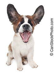Puppy Saint Bernard With Ears up and Mouth Open - Saint...
