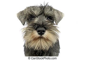 puppy schnauzer portrait in white studio