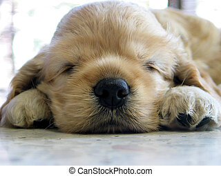Puppy - sleeping puppy