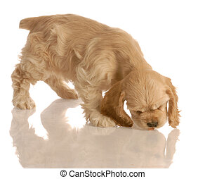 american cocker spaniel puppy chasing a piece of dog food isolated on white background