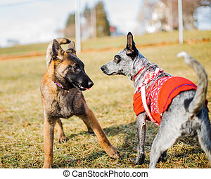 Puppy Socialization - Two dogs, a young Belgian Malinois and...