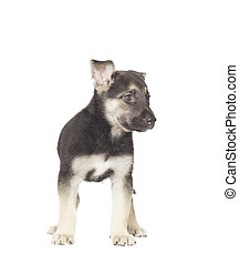 puppy standing on a white background isolated