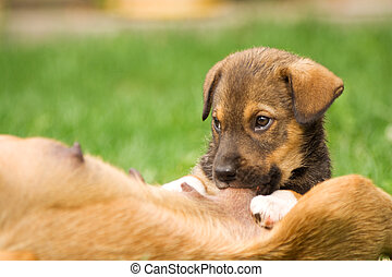 Puppy suckle - Little pooch nursing - slight motion blur