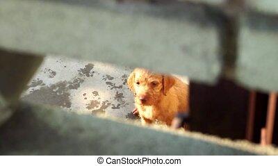 Puppy vizsla dog
