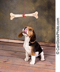 Puppy wanting bone - Seven weeks old cute little beagle ...