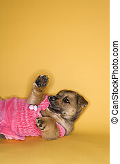 Puppy wearing dress.