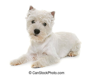 puppy west highland white terrier