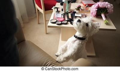 Puppy west highland white terrier.