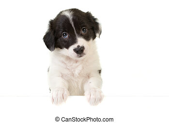Puppy with a message card - Cute border collie puppy with...