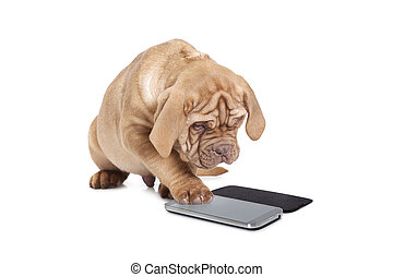 Puppy with cellular phone - Puppy of Dogue de Bordeaux...