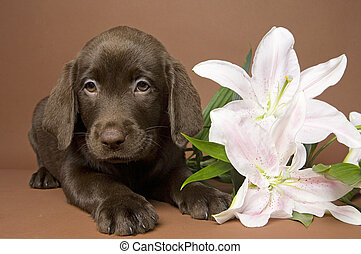 Puppy with flower - Brown labrador puppy with white lily