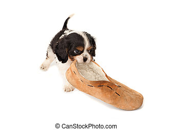 Puppy with slipper - King Charles puppy dog playing with an ...