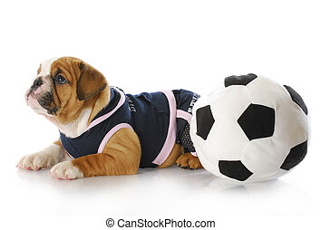 puppy with soccerball - english bulldog puppy female wearing...