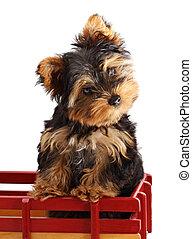 puppy, yorkshire