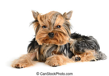 Yorkshire terrier - puppy Yorkshire terrier on the white...