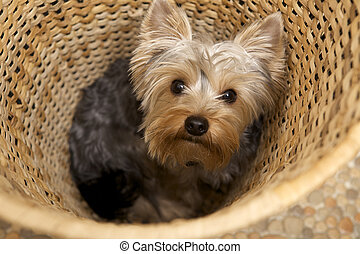 Yorkshire Terrier - puppy Yorkshire Terrier
