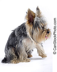 puppy yorkshire terrier with one leg in the air over white