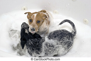 Pups Taking a Bubble Bath. - Two red and blue heelers taking...