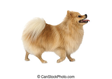 pur-sang, pomeranian, chien, isolé, fond, blanc