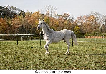 pura sangre, caballo