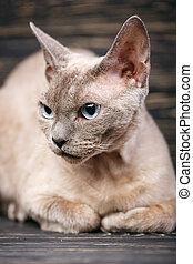 Pure-bred devon rex cat portrait on dark background