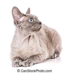 Pure-bred devon rex cat portrait on white background