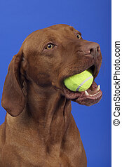 pure breed dog with tennis ball in mouth