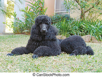 Pure breed giant black poodle