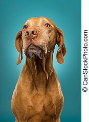 pure breed golden hungarian vizsla dog portrait on blue background