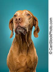 pure breed golden hungarian vizsla dog portrait on blue background