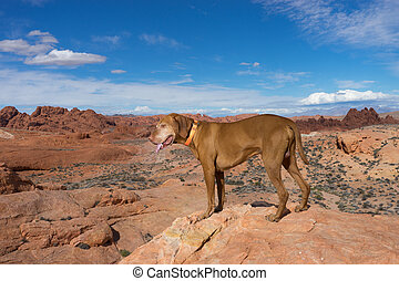 pure breed hungarian vizsla dog in the valley of fire nevada