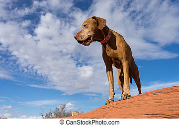 pure breed hunting dog standing on red rock with cloudy sky in the background