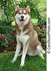 Pure breed husky - Two years old pure breed Siberian husky...