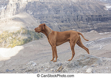pure breed intact male dog - pure breed intact male Vizsla...