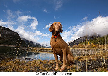 pure breed pointer dog sitting by the lake