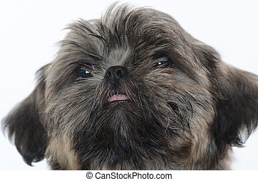 Shih Tzu puppy - pure breed Shih Tzu puppy on white...