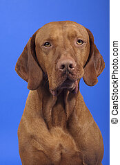 pure breed vizsla dog portrait