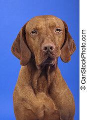 pure breed vizsla dog portrait