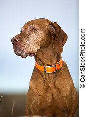 pure breed vizsla outdoors portrait