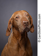 pure breed vizsla portrait on grey background