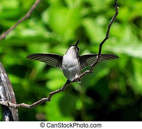 Pure Joy - A joyful hummingbird
