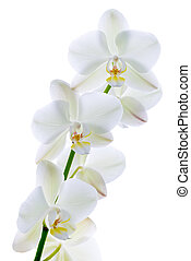 Pure orchid.