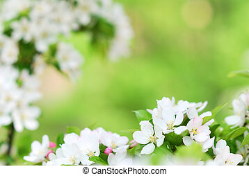 Pure white apple tree blossoms blooming in colorful springtime season