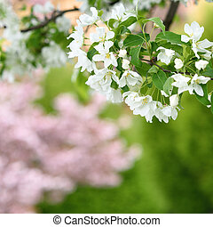 Pure white blossoms of an apple tree in spring season