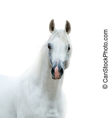 Pure white horse isolated