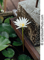 Pure white lotus in a pond
