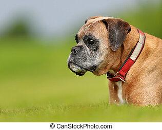 purebred, ボクサー犬