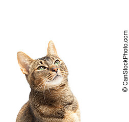 Purebred Abyssinian cat looking up on a white background