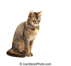Purebred Abyssinian cat on a white background