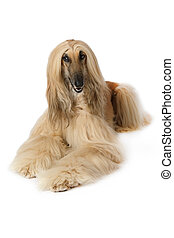 Purebred Afghan hound dog over white - Purebred dog Afghan...